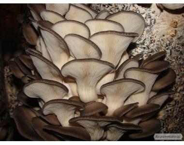 мицелий вешенка грибы выращивание пакеты Полтава
