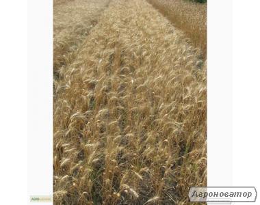 Насіння пшениці озимої - сорт Колумбія. Еліта й 1 репродукція
