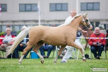 Уэльская пони кобыла Dasha 132 cm