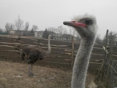 Продам взрослых страусов