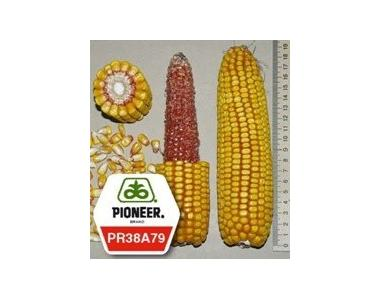 Кукуруза ПР38А79 / PR38А79 (новий) ФАО 330