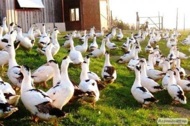 Продаються інкубаційні яйця качки Мулард - инкубационные яйца