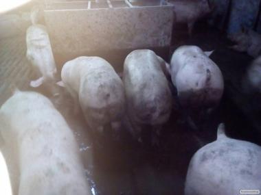 Бійня Закуповує свиней