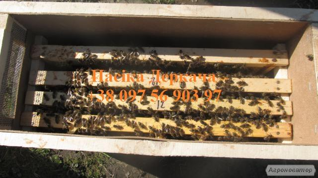 Продам пчелопакеты. Доставка по Украине