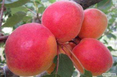 Саженцы абрикоса сорта Спринг Блаш от производителя
