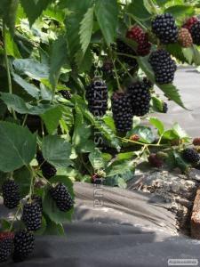 Саджанці літньої безколючкової садової ожини Натчез