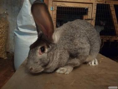 Кролики (серебро)