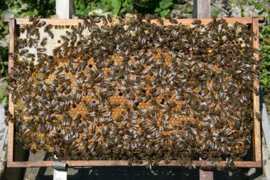 Продам пчелосемьи бакфаст