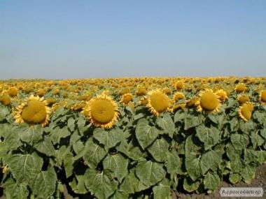 Купить семена подсолнуха Сербской селекции Дунай.ФАО-118-122дня