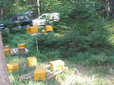 Предлагаю чистопородных карпатских маток Вучковского типа, пчелопакеты