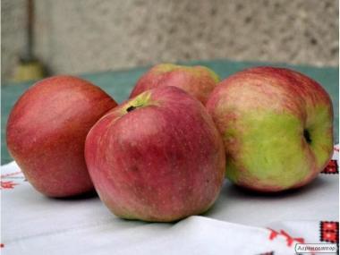 Саджанці яблуні сорту Джумбо Помм, від виробника