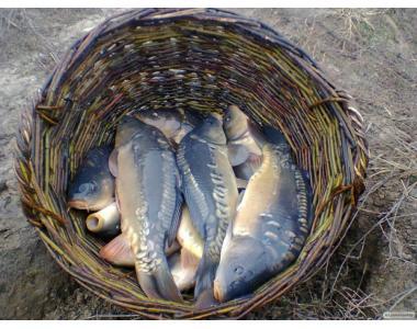 товарна риба короп, амур, товстолоб