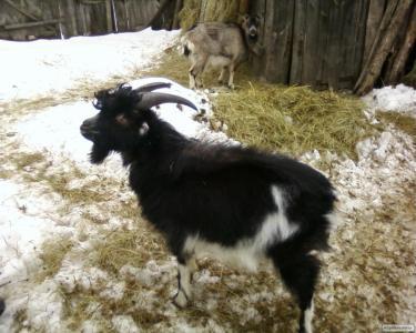 Продам гарного козла породи Ламанч
