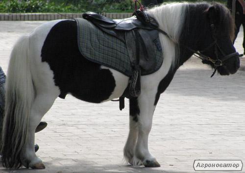 продается красавец пони  Леопольд