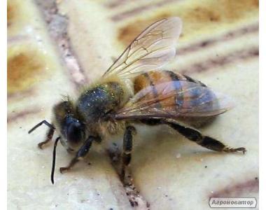 Бакфаст, Пчелосемьи, Пчелопакеты
