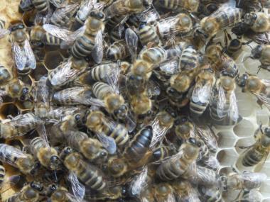 Пчелопакеты карпатки