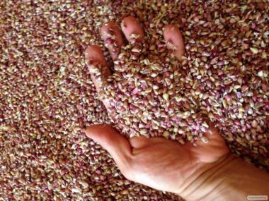 Продам насіння часнику - воздушку