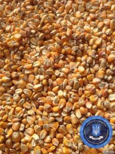Кукурудза 3 класу кормові потреби, загальною вагою 134 419 кг(134 т.)
