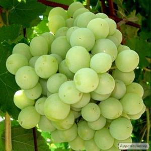 Реализуем виноград столовых и технических сортов. http://agro-ukraine.