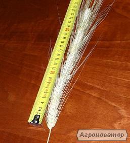 Продаж насіння канадської пшениці дворучка.