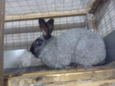 Племенные кролики Полтавское серебро
