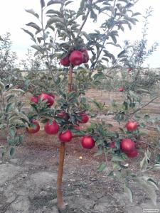 Породам яблоки оптом , с молодого сада , урожай 2016 г. Сорт Айдаред.