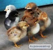 Інкубаційне яйце Майстер Грей, Іспанка (голошейка), Редбро
