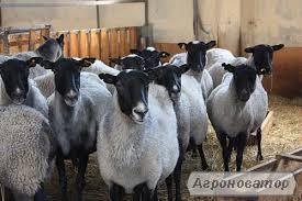 Овцы породы «Романовская», «Прекос».