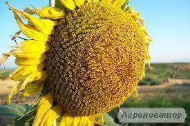 Насіння соняшнику НСХ-26752, Фалкон Нертус Сербія класичний