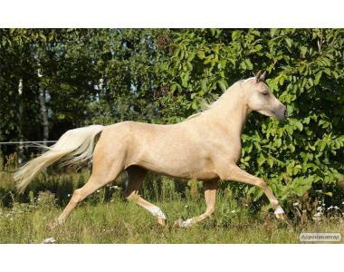 Уэльский пони Картинка
