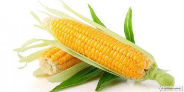 Насіння Кукурудзи. Продаж від 100 кг.