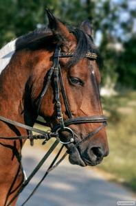 Продається верхова кобила (пейнтхорс)