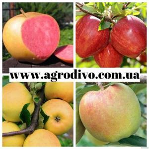 Саженцы плодовых деревьев оптом и в розницу от производителя