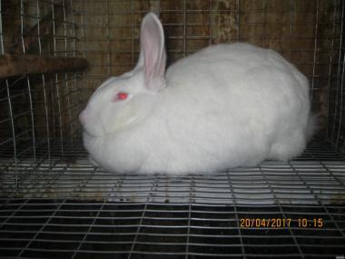 Кролі породи Термонська біла