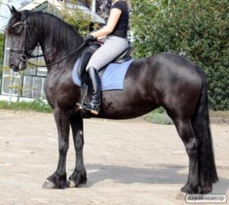 Красивая 4-летняя лошадь Fresian