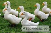 Утята, цыплята,индюшата, и гусята. Доставка по Украине. Производитель