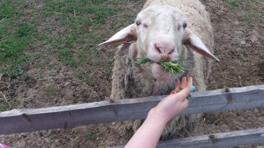 СРОЧНО продам племенные овцы «Немецкий Мериноланд»