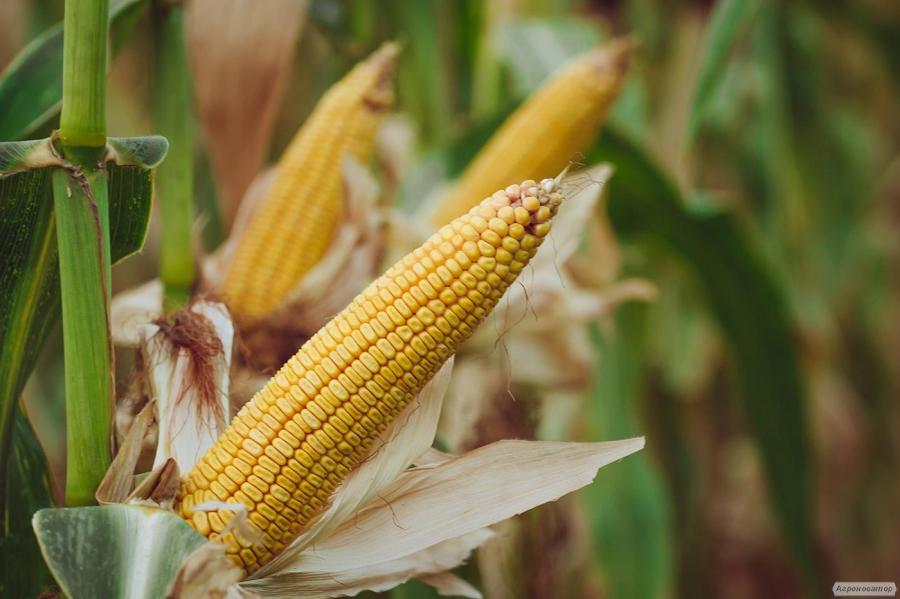 насіння кукурудзи Амарок