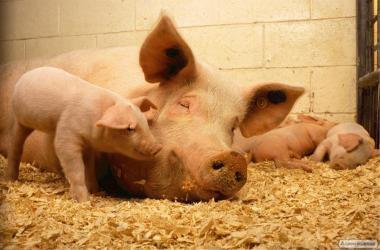 Продаются живым весом свиньи