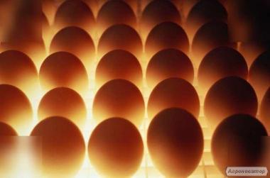 Яйцо несушки Ломан-Браун, инкубационное вывод от 82%. Продажа оптом.