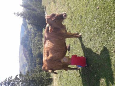 Продаю корову