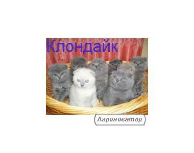 Шотландских плюшевых котят