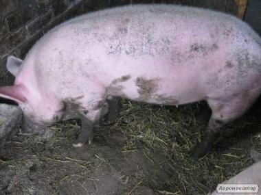 Продам эко-мясо домашняя свинина