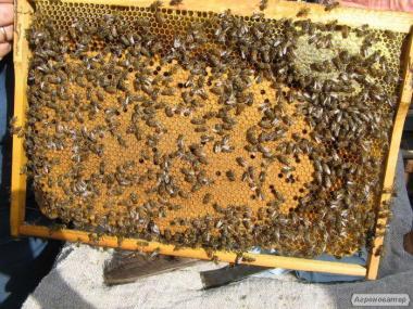 Привезу пчел Запорожье, закупаем мед