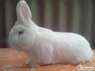 Кролики Калифорнийский,Нзб,Большое серебро,Европейская шиншилла.