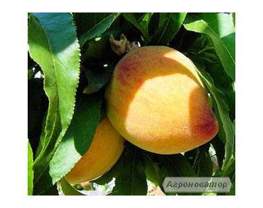 Саджанці персика сорти Єллоу Піч, від виробника
