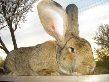 Кролики породи бельгійський обер
