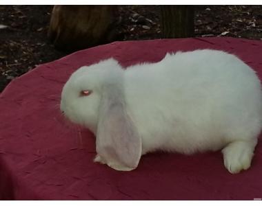 Продам молодняк кроликов французского барана