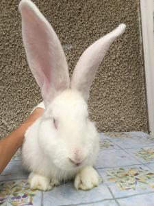 """Продам кроликів породи """"Білий Велетень"""".."""