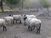 Продам або поміняю овець,ярок, барана на розлучення Романовська порода